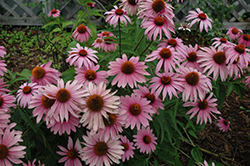 Magnus Superior Coneflower (Echinacea purpurea 'Magnus Superior') at Millcreek Nursery Ltd