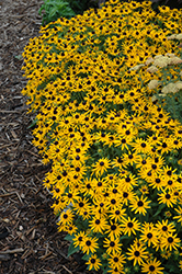 Little Goldstar Coneflower (Rudbeckia fulgida 'Little Goldstar') at Millcreek Nursery Ltd