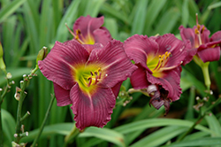 Little Grapette Daylily (Hemerocallis 'Little Grapette') at Millcreek Nursery Ltd