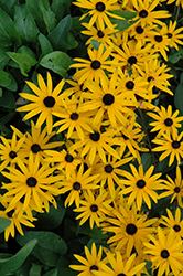 Early Bird Gold Coneflower (Rudbeckia fulgida 'Early Bird Gold') at Millcreek Nursery Ltd