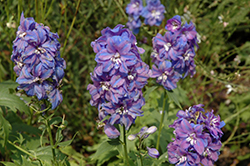 Guardian Blue Larkspur (Delphinium 'Guardian Blue') at Millcreek Nursery Ltd
