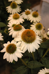 Snow Bomb Coneflower (Echinacea 'Snow Bomb') at Millcreek Nursery Ltd