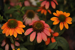 Spice Fest Coneflower (Echinacea 'Cheyenne Spirit') at Millcreek Nursery Ltd