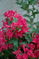 Sonic Bloom Red Weigela (Weigela florida 'Verweig 6') at Millcreek Nursery Ltd
