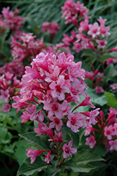 Sonic Bloom Pink Weigela (Weigela florida 'Bokrasopin') at Millcreek Nursery Ltd