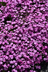Emerald Pink Moss Phlox (Phlox subulata 'Emerald Pink') at Millcreek Nursery Ltd