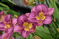 Strutter's Ball Daylily (Hemerocallis 'Strutter's Ball') at Millcreek Nursery Ltd