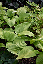 Key West Hosta (Hosta 'Key West') at Millcreek Nursery Ltd