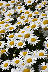 Becky Shasta Daisy (Leucanthemum x superbum 'Becky') at Millcreek Nursery Ltd