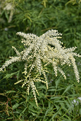 Cutleaf Goatsbeard (Aruncus dioicus 'Kneffii') at Millcreek Nursery Ltd