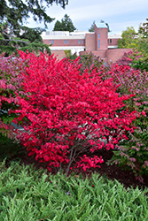 Dwarf Winged Burning Bush (Euonymus alatus 'Compactus') at Millcreek Nursery Ltd