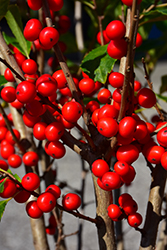 Little Goblin® Red Winterberry (Ilex verticillata 'NCIV1') at Millcreek Nursery Ltd