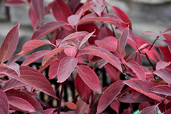 Arctic Fire Red Twig Dogwood (Cornus sericea 'Farrow') at Millcreek Nursery Ltd
