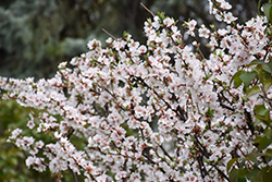 Nanking Cherry (Prunus tomentosa) at Millcreek Nursery Ltd
