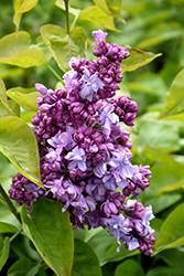 Katherine Havemeyer Lilac (Syringa vulgaris 'Katherine Havemeyer') at Millcreek Nursery Ltd