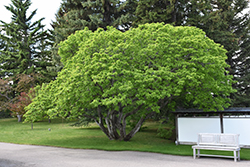 Amur Maple (Acer ginnala) at Millcreek Nursery Ltd