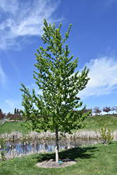 Assiniboine Poplar (Populus 'Assiniboine') at Millcreek Nursery Ltd