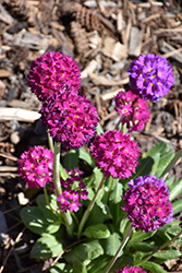 Drumstick Primrose (Primula denticulata) at Millcreek Nursery Ltd