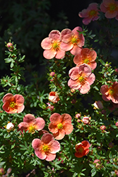 Orangeade Potentilla (Potentilla fruticosa 'Orangeade') at Millcreek Nursery Ltd