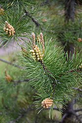 Lodgepole Pine (Pinus contorta 'var. latifolia') at Millcreek Nursery Ltd