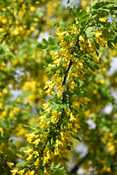 Hedge Caragana (Caragana arborescens) at Millcreek Nursery Ltd