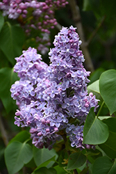 President Grevy French Lilac (Syringa vulgaris 'President Grevy') at Millcreek Nursery Ltd