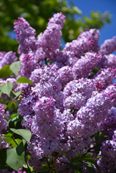 Common Lilac (Syringa vulgaris) at Millcreek Nursery Ltd