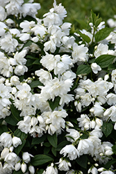 Snowbelle Mockorange (Philadelphus 'Snowbelle') at Millcreek Nursery Ltd
