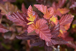 Center Glow Ninebark (Physocarpus opulifolius 'Center Glow') at Millcreek Nursery Ltd