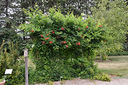 Atomic Red™ Trumpetvine (Campsis radicans 'Stromboli') at Millcreek Nursery Ltd