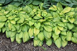 Stained Glass Hosta (Hosta 'Stained Glass') at Millcreek Nursery Ltd