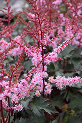 Delft Lace Astilbe (Astilbe 'Delft Lace') at Millcreek Nursery Ltd