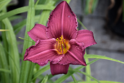 Summer Wine Daylily (Hemerocallis 'Summer Wine') at Millcreek Nursery Ltd