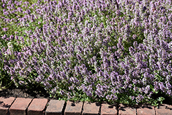 Common Thyme (Thymus vulgaris) at Millcreek Nursery Ltd