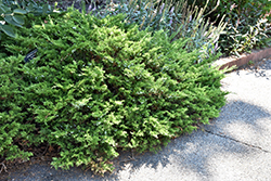Buffalo Juniper (Juniperus sabina 'Buffalo') at Millcreek Nursery Ltd