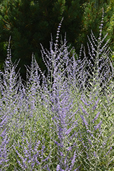 Filigran Russian Sage (Perovskia 'Filigran') at Millcreek Nursery Ltd