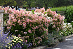 Quick Fire Hydrangea (Hydrangea paniculata 'Bulk') at Millcreek Nursery Ltd