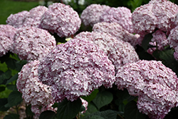 Incrediball® Blush Smooth Hydrangea (Hydrangea arborescens 'NCHA4') at Millcreek Nursery Ltd