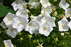 White Clips Bellflower (Campanula carpatica 'White Clips') at Millcreek Nursery Ltd