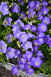 Rapido Blue Bellflower (Campanula carpatica 'Rapido Blue') at Millcreek Nursery Ltd