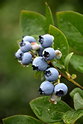 Northblue Blueberry (Vaccinium 'Northblue') at Millcreek Nursery Ltd