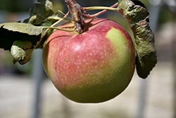 Fall Red Apple (Malus 'Fall Red') at Millcreek Nursery Ltd