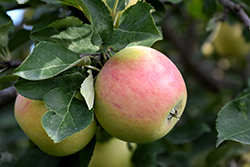 Goodland Apple (Malus 'Goodland') at Millcreek Nursery Ltd