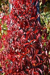 Red Wall® Virginia Creeper (Parthenocissus quinquefolia 'Troki') at Millcreek Nursery Ltd