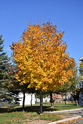 Unity Sugar Maple (Acer saccharum 'Unity') at Millcreek Nursery Ltd