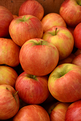 Honeycrisp Apple (Malus 'Honeycrisp') at Millcreek Nursery Ltd