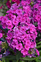 Purple Flame Garden Phlox (Phlox paniculata 'Purple Flame') at Millcreek Nursery Ltd