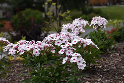 White Eye Flame Garden Phlox (Phlox paniculata 'White Eye Flame') at Millcreek Nursery Ltd