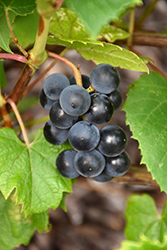Beta Grape (Vitis 'Beta') at Millcreek Nursery Ltd